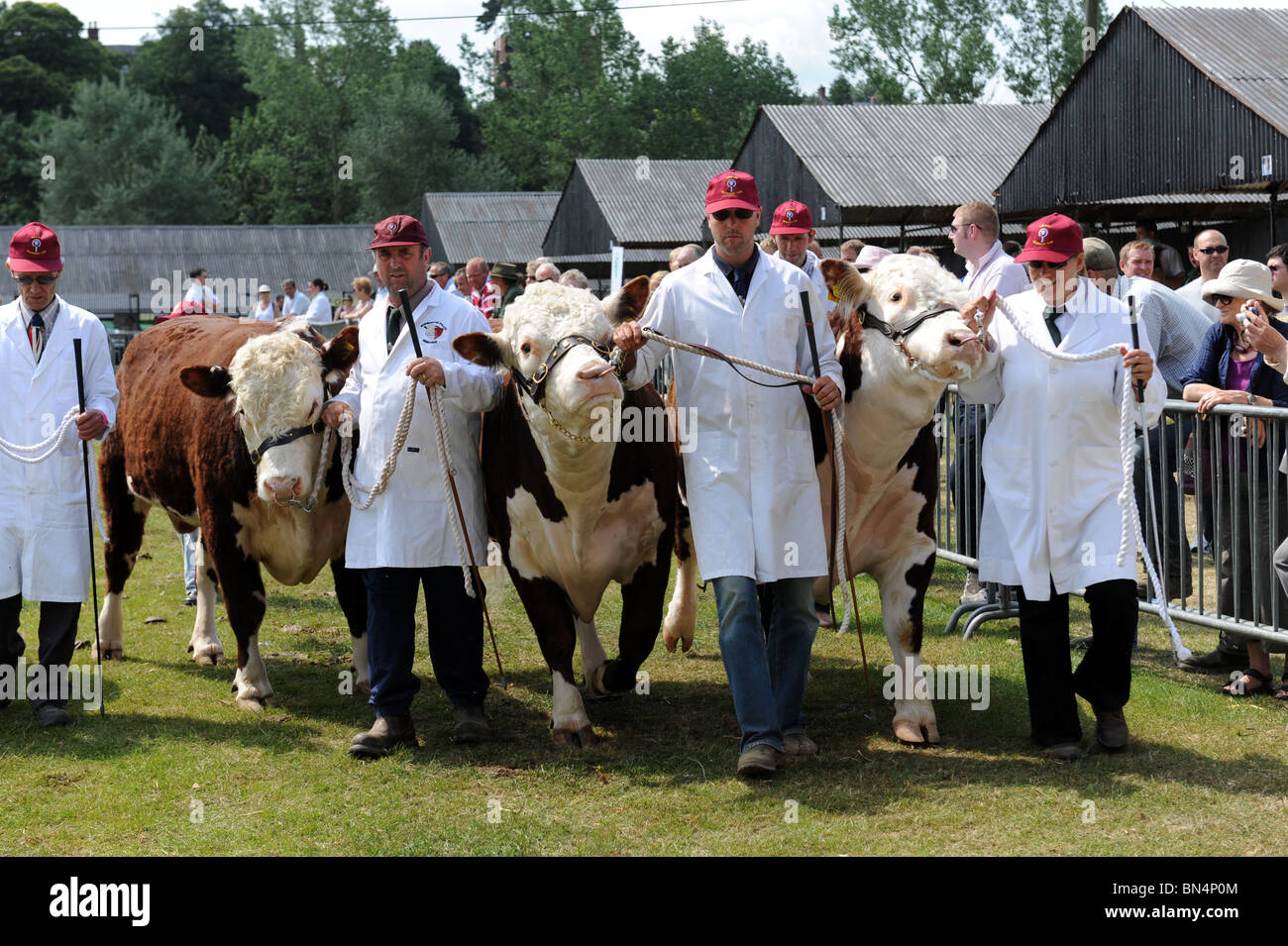 Hereford cattle Shropshire County Show - Stock Image