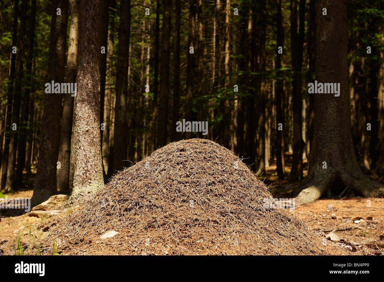 Anthill, ants colony, Spicak hill, Zelezna Ruda, NP Sumava, Ceska republika - Stock Image