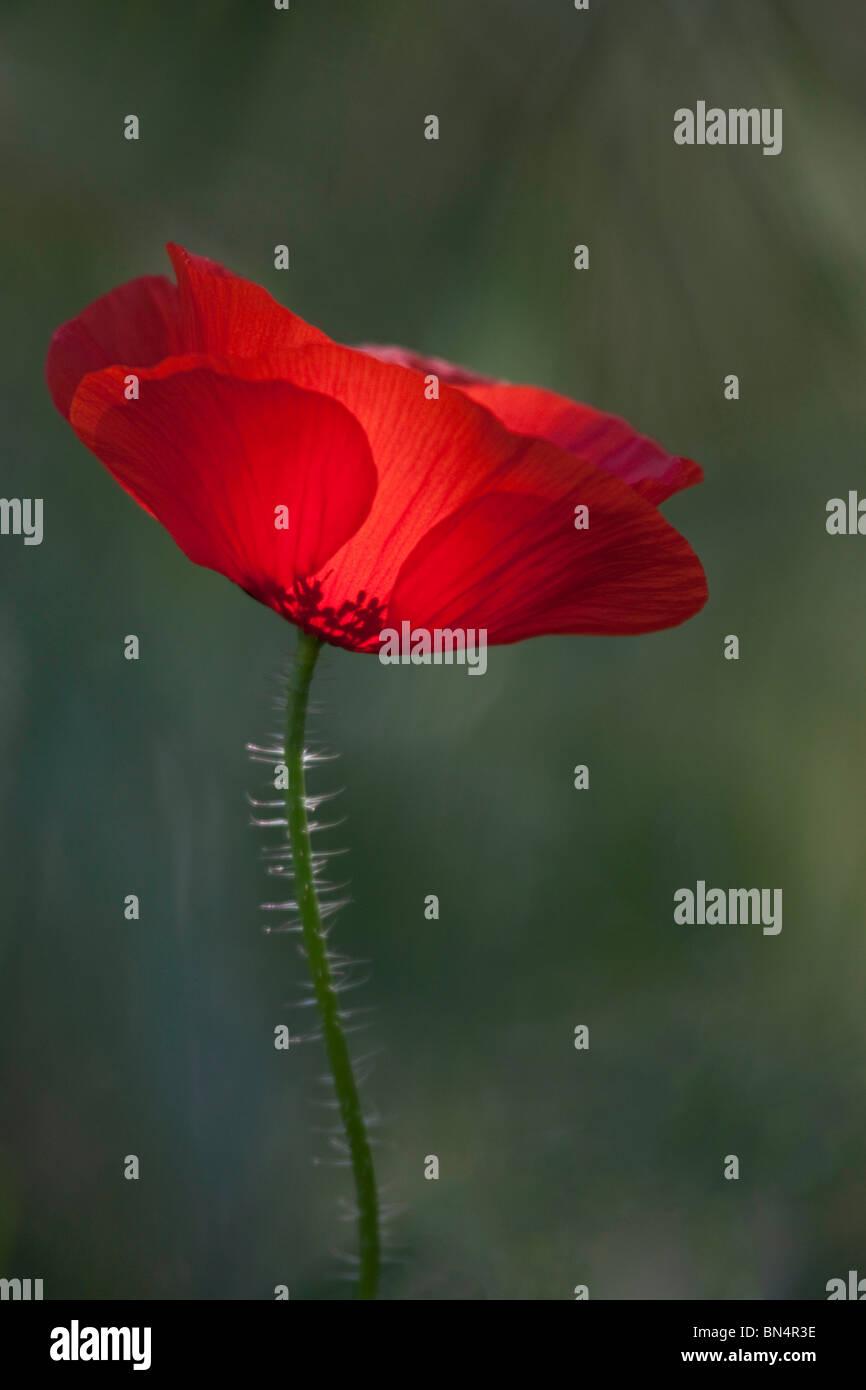 Poppy like flowers stock photos poppy like flowers stock images red poppy backlit looking like chinese shadows stock image mightylinksfo