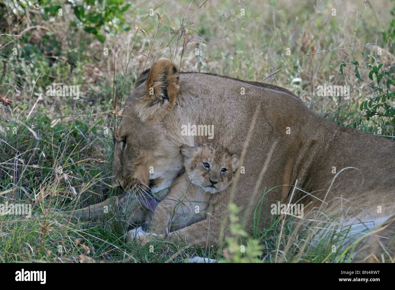 Lion Cub playing with mother in Masai Mara Game Reserve, Kenya, East Africa - Stock Image