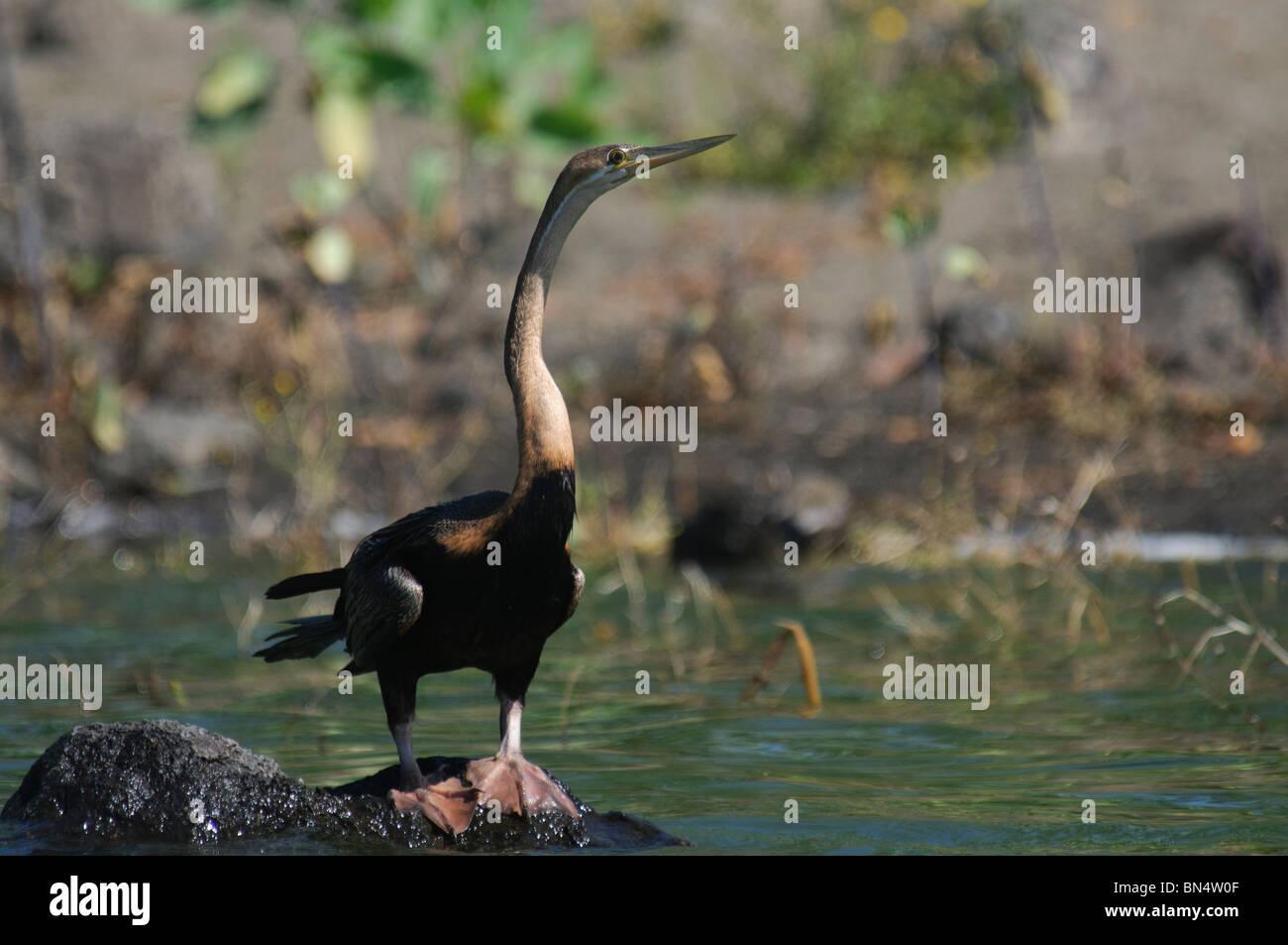 African Darter Anhinga rufa snakebird - Stock Image