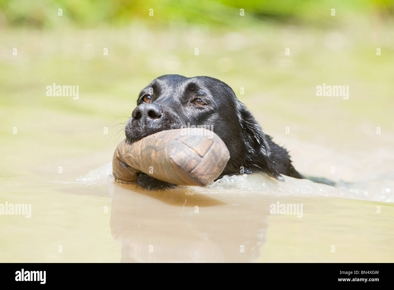 A black Labrador Retriever swimming with a training dummy in its mouth Stock Photo