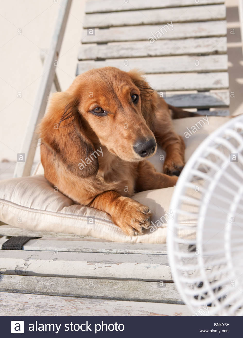 Dachshund puppy keeping cool in hot weather or heatwave using an electric fan - Stock Image
