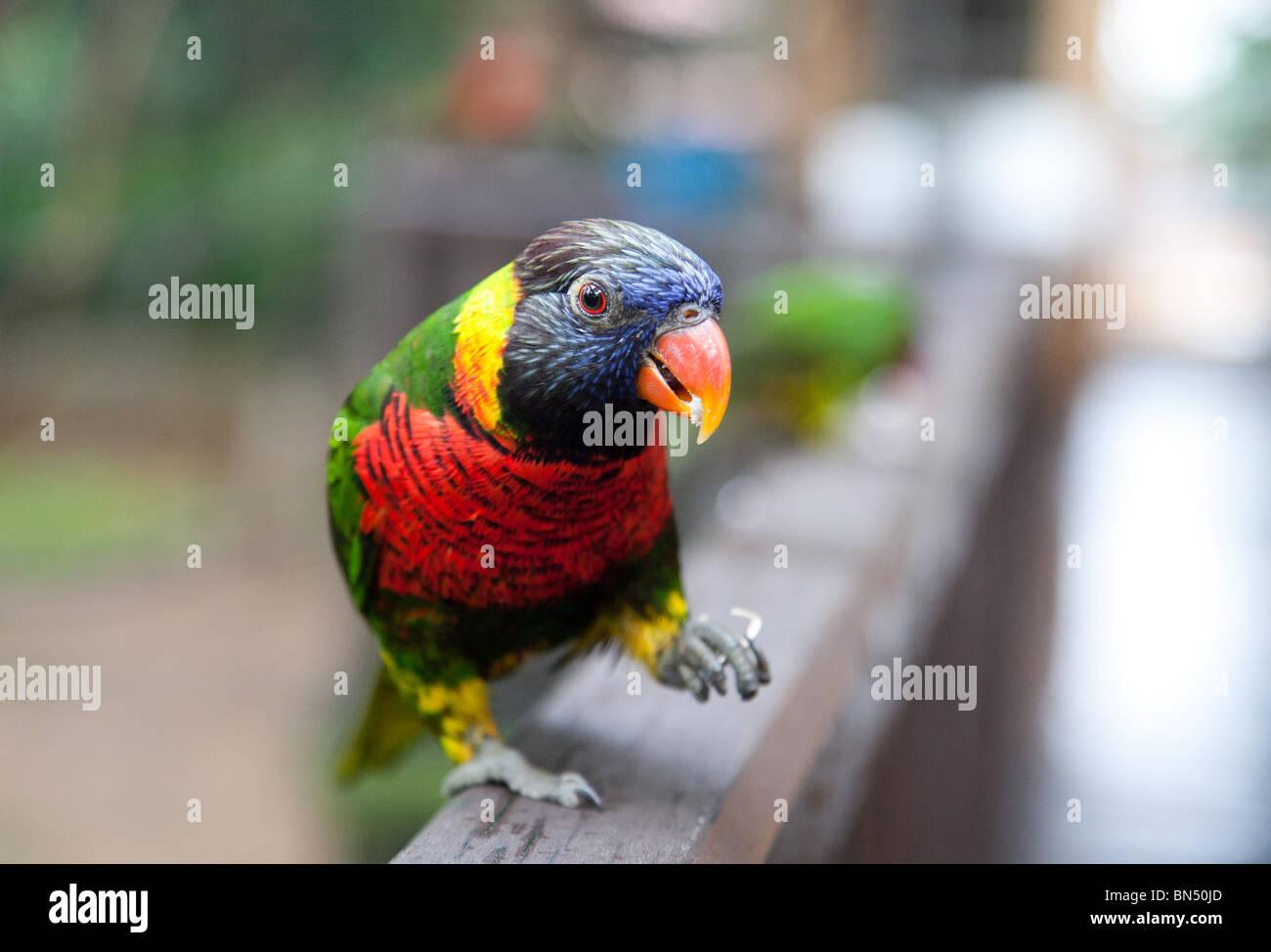 A Rainbow Lorikeet at the Kuala Lampur Bird Park - Stock Image