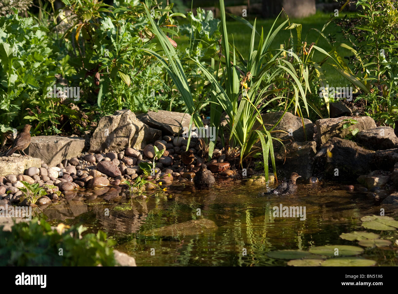 Birds bathing in the shallows of a small garden pond - Stock Image