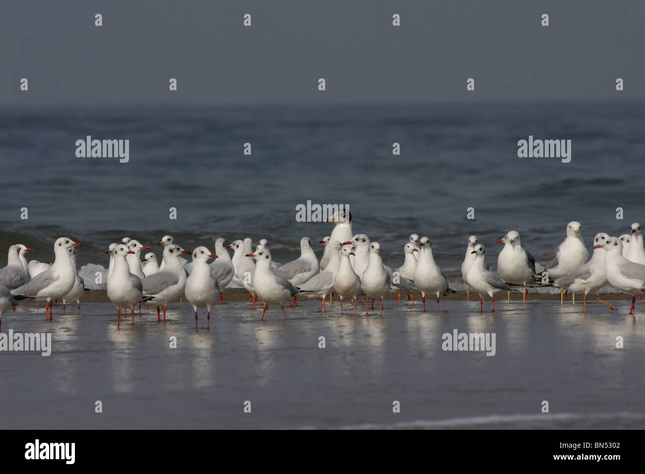 Black-headed Gull (Winter Visiter and Passage Migrant), Chroicocephalus ridibundus, Laridae, Tarakrali Beach, Near - Stock Image