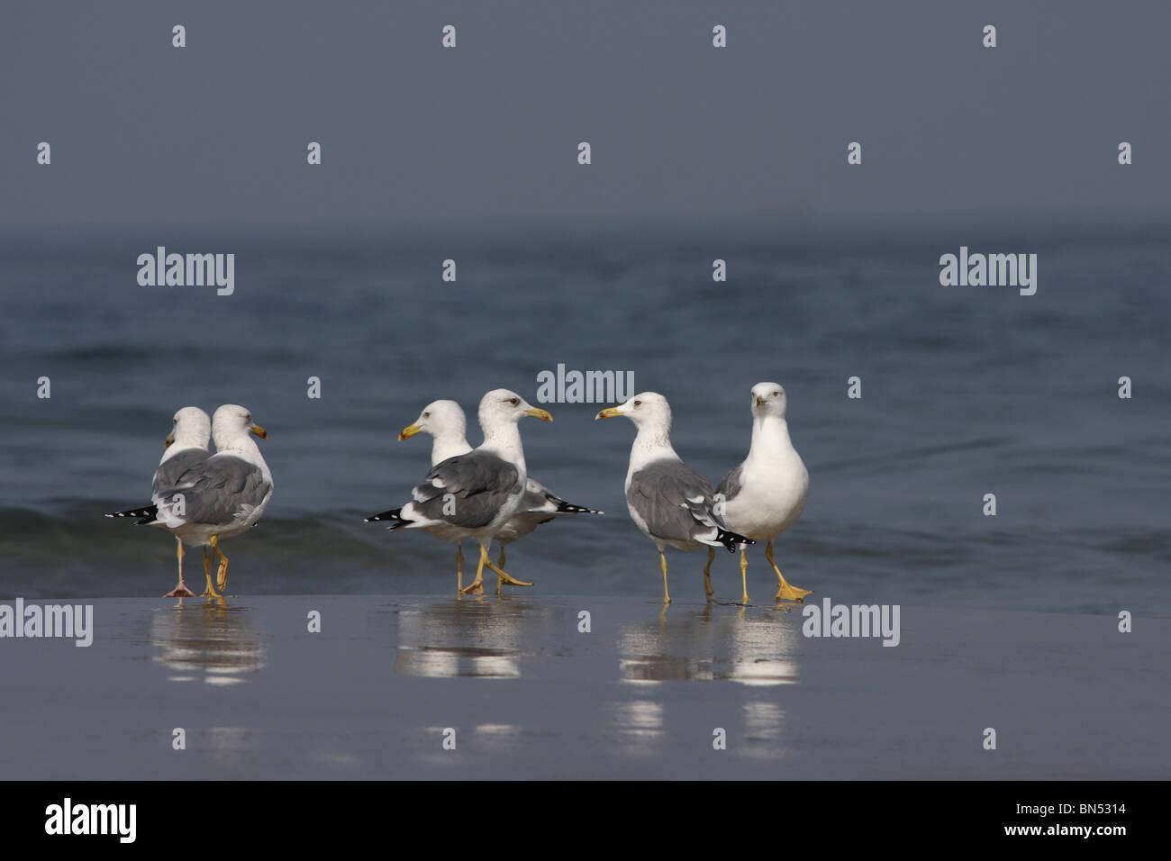Birds, Black-headed Gull (Winter Visiter and Passage Migrant), Chroicocephalus ridibundus, Laridae, Tarakrali Beach, - Stock Image