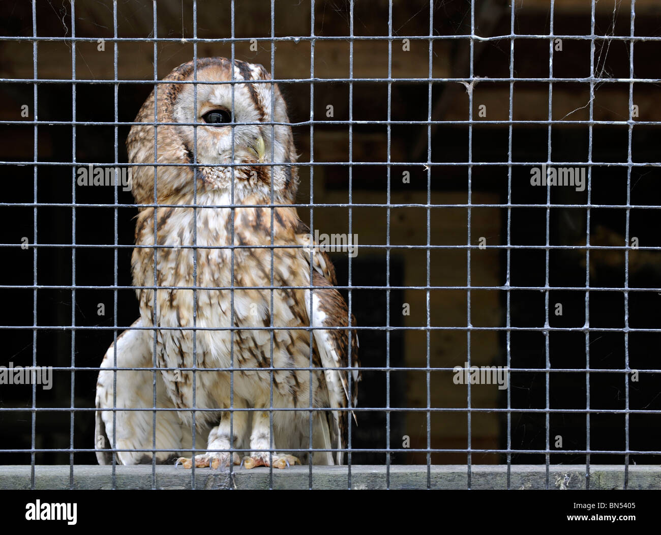 Tawny owl in a cage - Stock Image