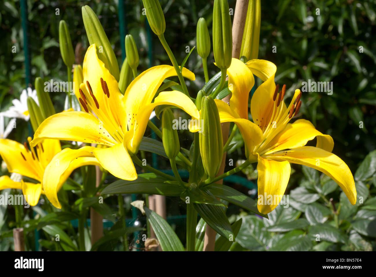 Stunning Yellow lilies - Stock Image