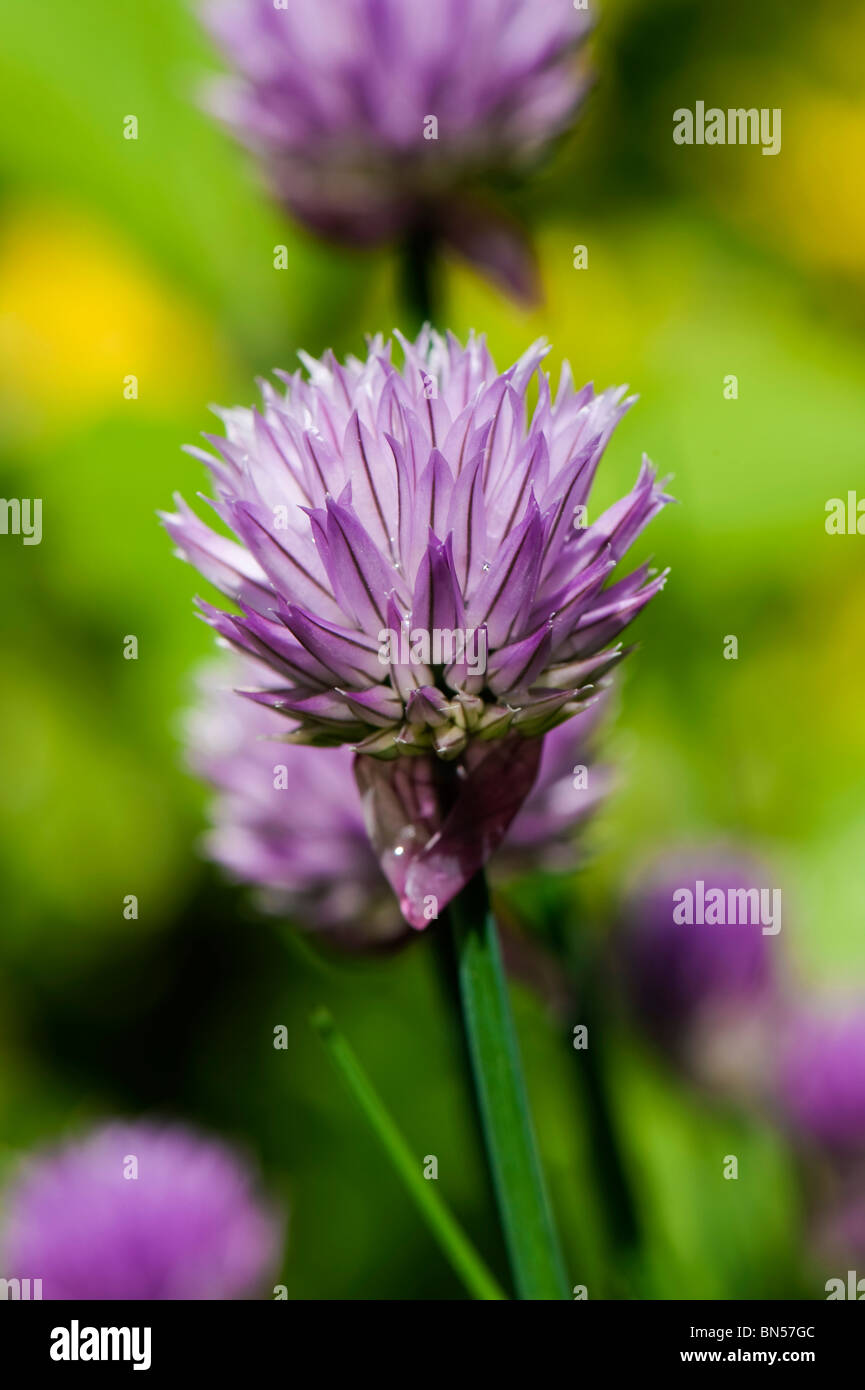 Flower on a chives plant - Stock Image