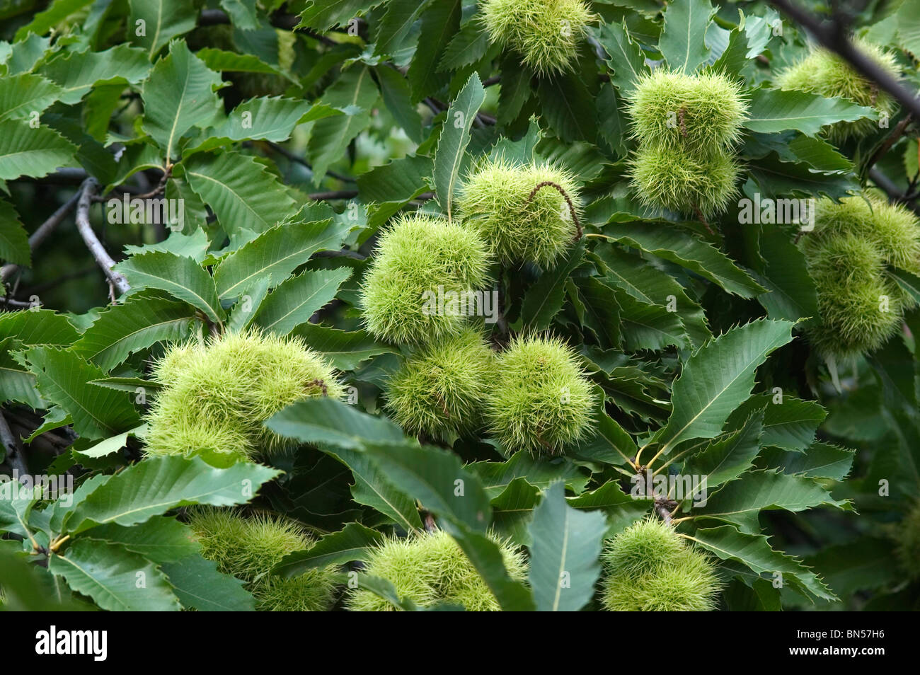 Fruit on managed sweet chestnut (Castanea sativa) trees, Switzerland - Stock Image