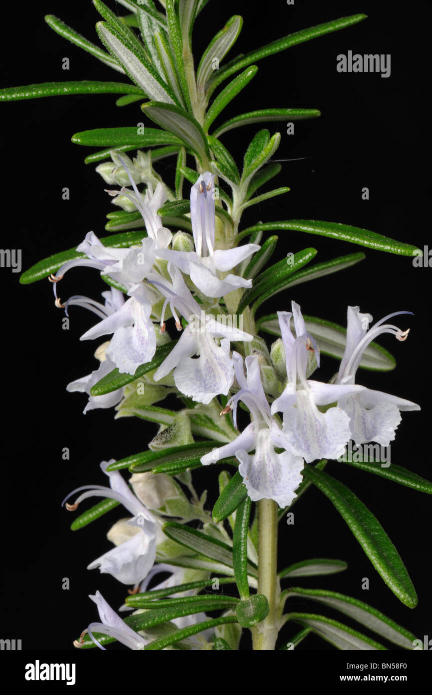 Rosemary (Rosmarinus officinalis) flowers and leaves - Stock Image