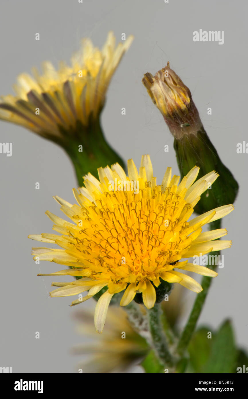 Smooth sow-thistle (Sonchus oleraceus) flowers - Stock Image
