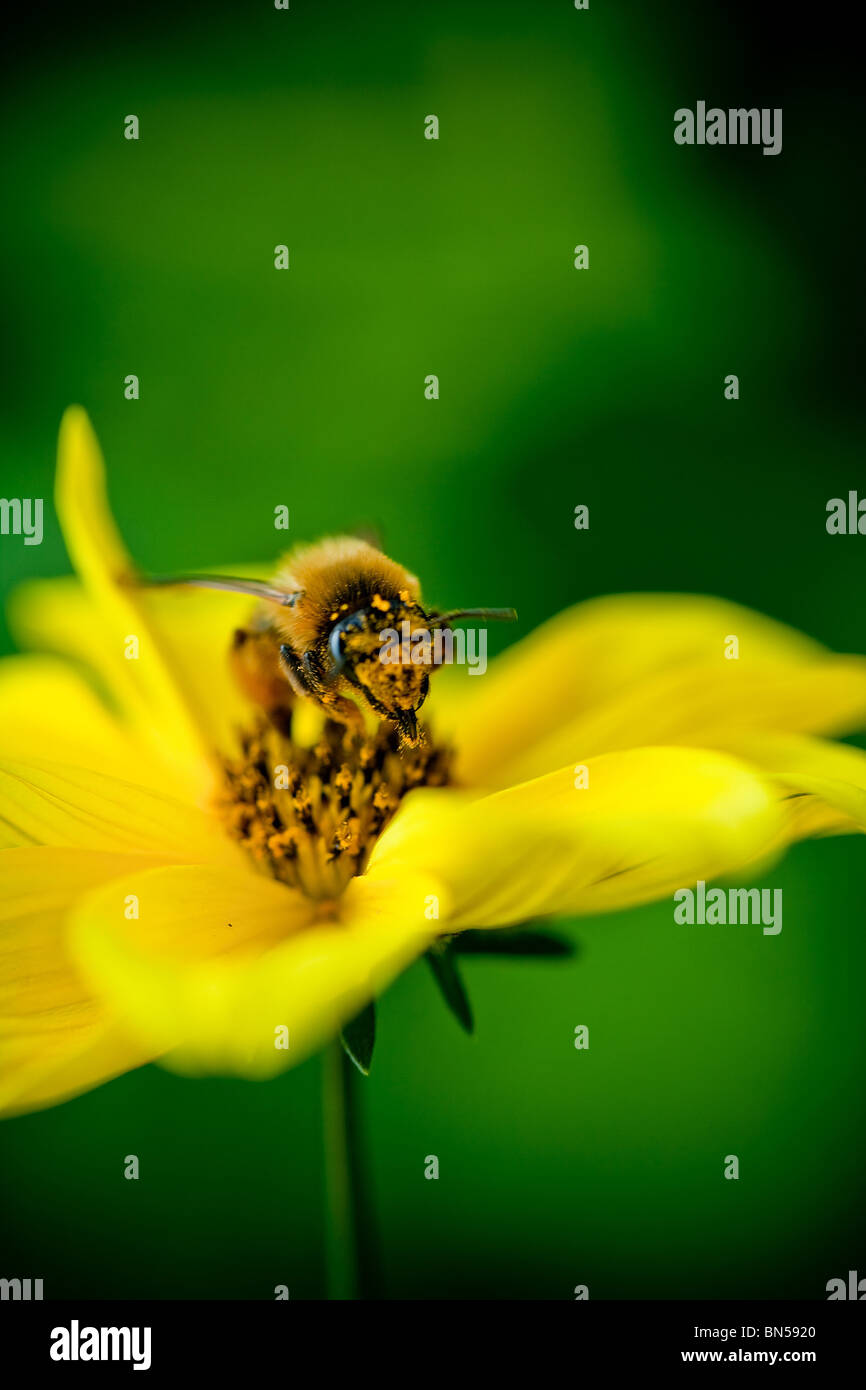 Close-up bee on flower collects nectar - Stock Image