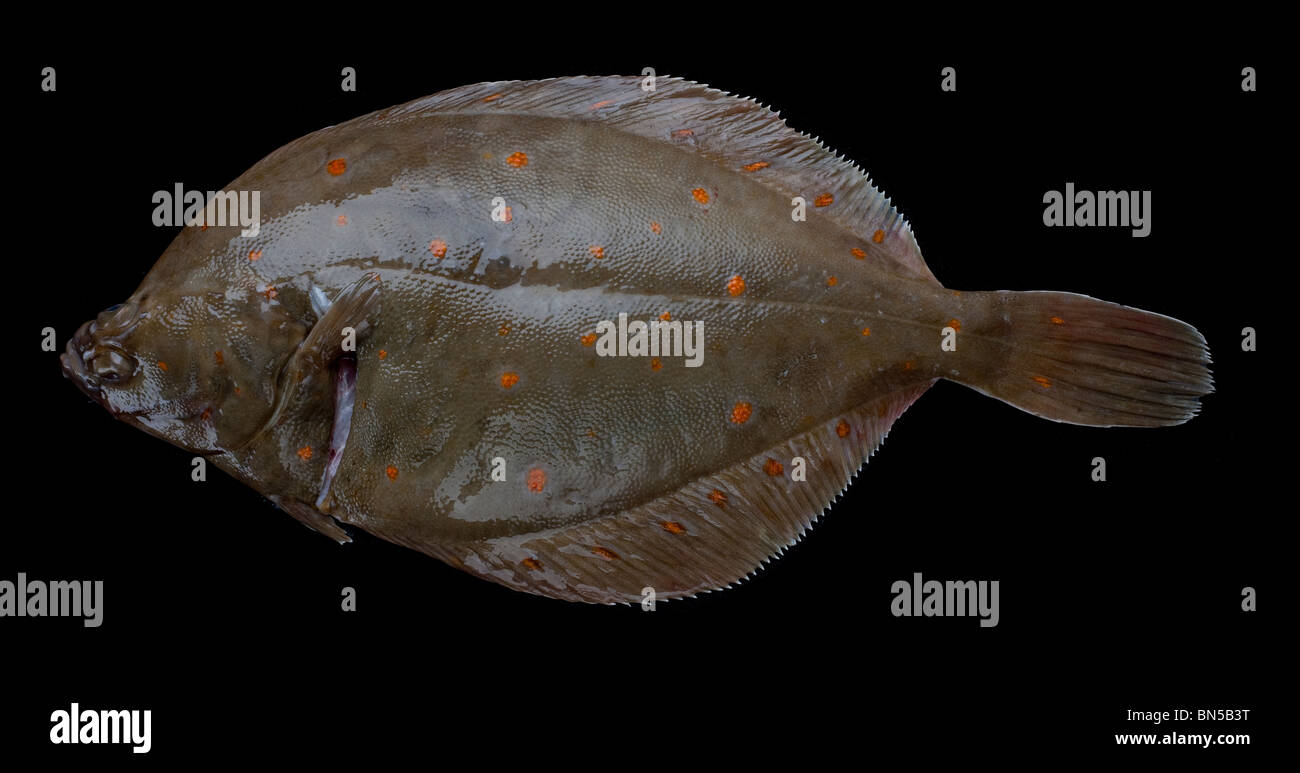 Plaice sea fish popular as a commercial flatfish in Europe it also widely fished recreationally - Stock Image