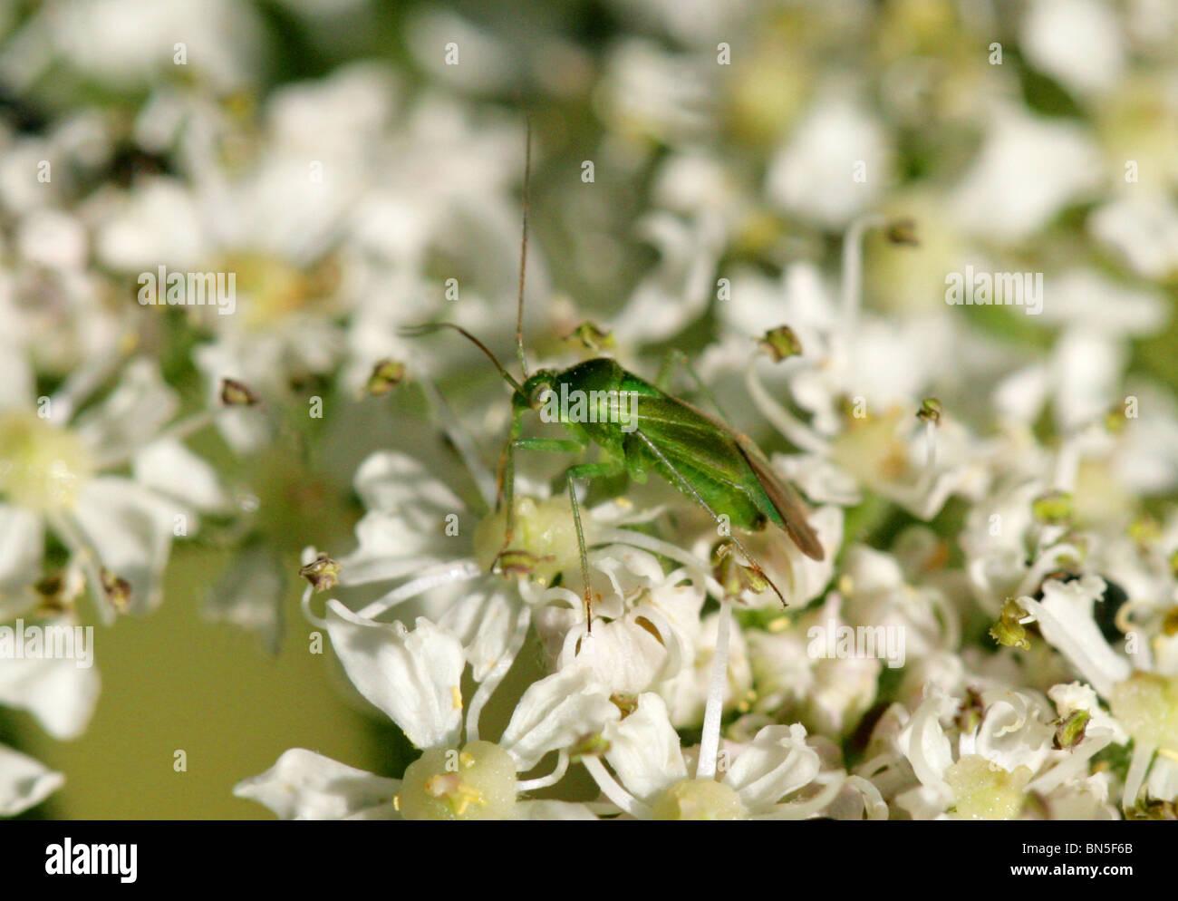 Common Green Capsid Bug, Lygocoris pabulinus, Miridae - Stock Image