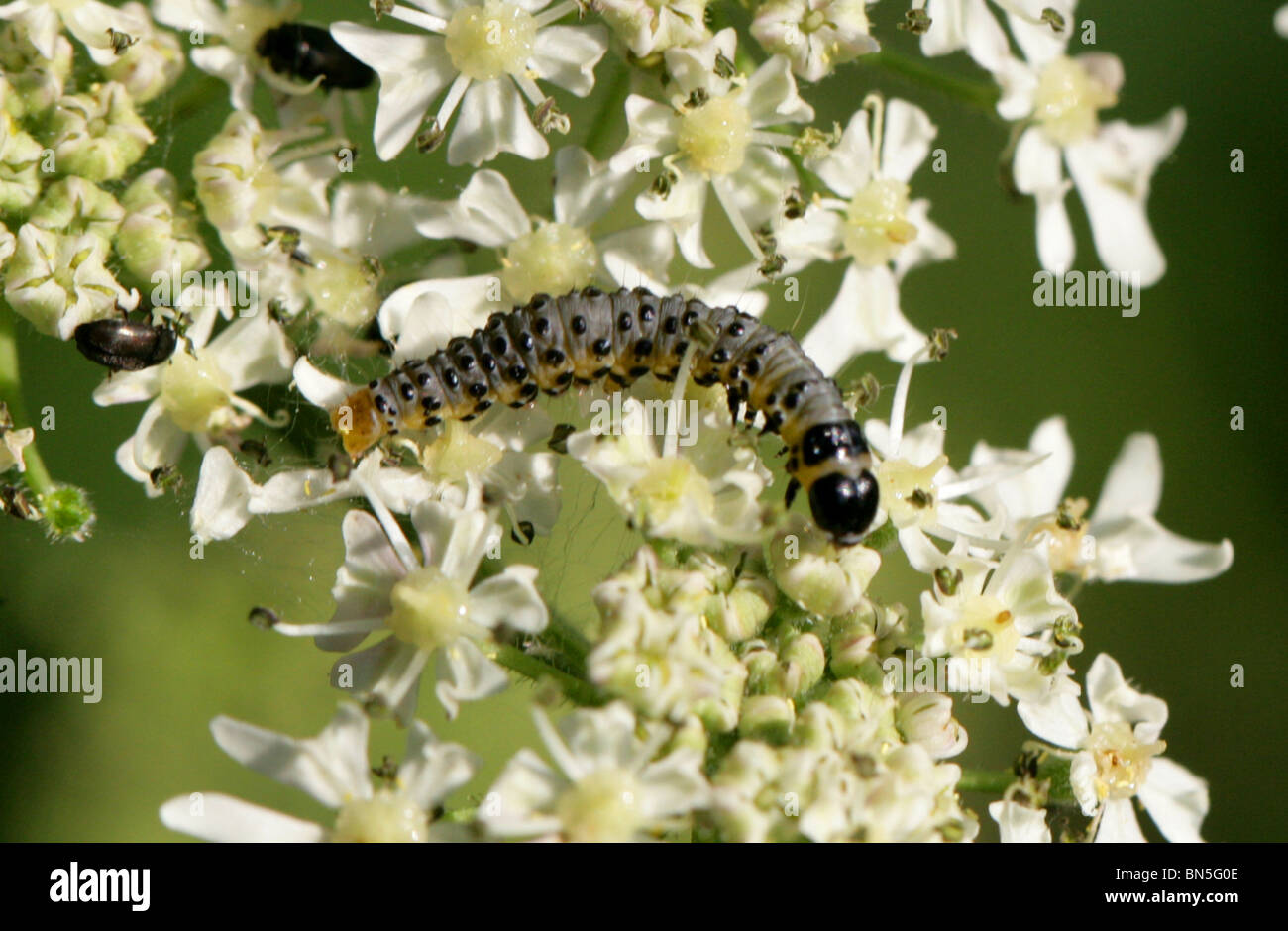 Parsnip Moth or Parsnip Webworm Larva, Depressaria pastinacella, Depressariinae, Oecophoridae, Lepidoptera Feeding - Stock Image