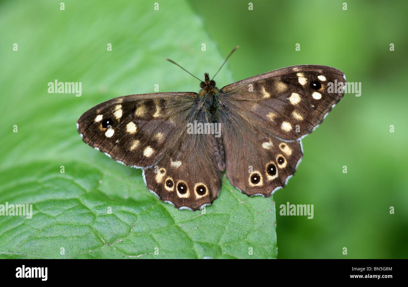Speckled Wood Butterfly, Pararge aegeria, Nymphalidae - Stock Image