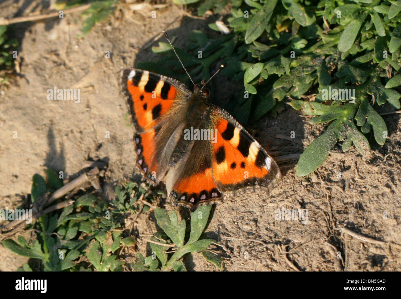 Small Tortoiseshell Butterfly, Nymphalis urticae, Nymphalidae. Sunbathing on a Dirt Track. - Stock Image