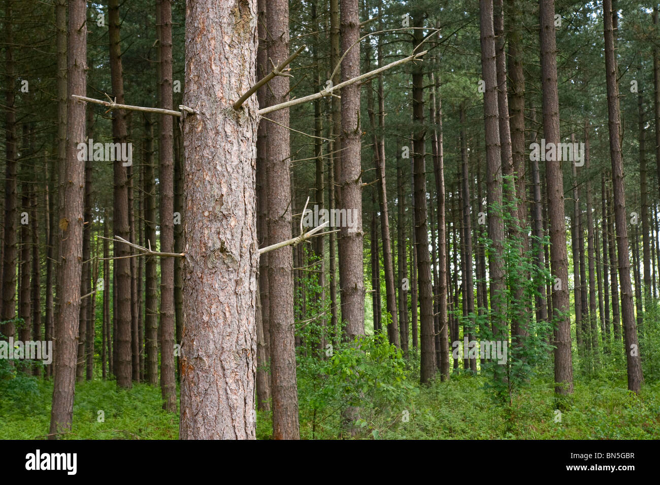 Scots Pine growing in mixed woodland in Nottinghamshire - Stock Image