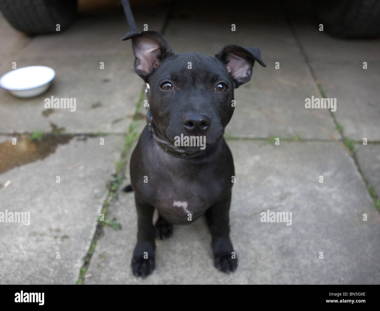 Staffordshire Bull Terrier pup. England, UK. - Stock Image