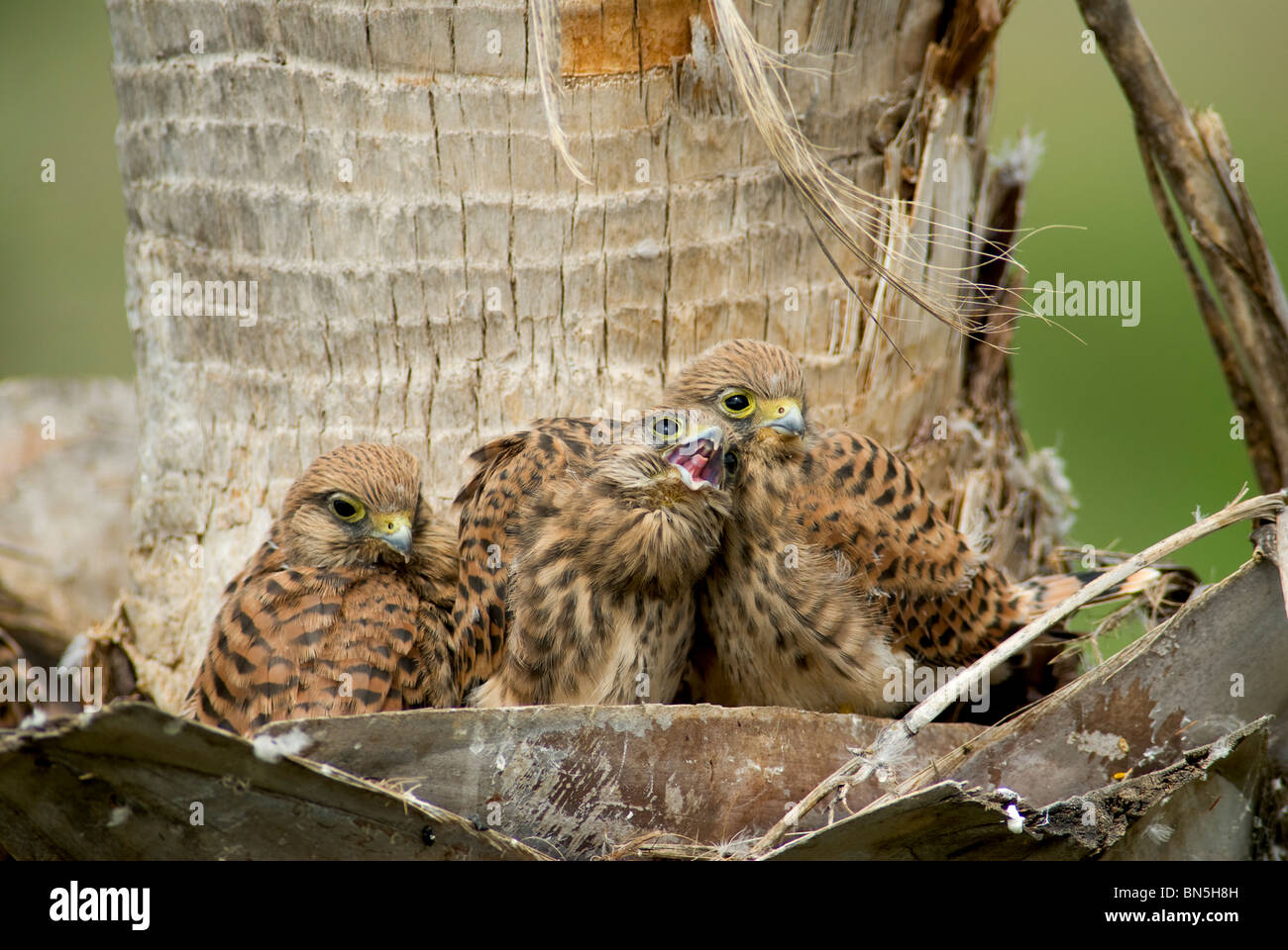 3 Kestrel chicks in nest located in palm tree - Stock Image