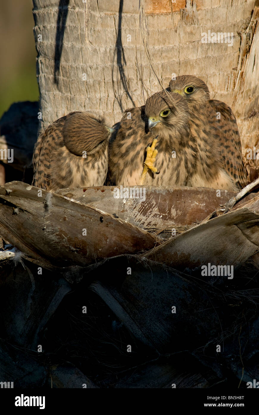 3 Kestrel chicks in nest with one raising it's claw to scratch it's face - Stock Image