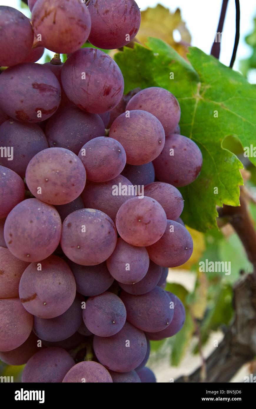 Red grapes on vine, Ibiza, Balearics, Spain - Stock Image