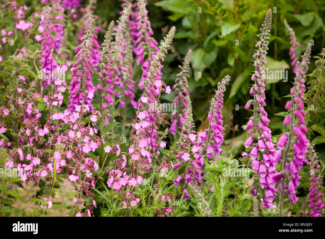Foxgloves and Red Campion growing on the Cornish coast near Porthcurno, UK. Stock Photo