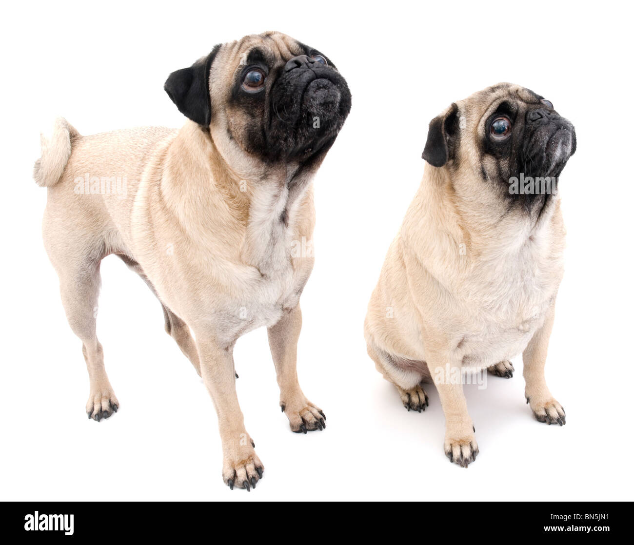 Two Pugs Looking Up, Isolated on White Background. - Stock Image