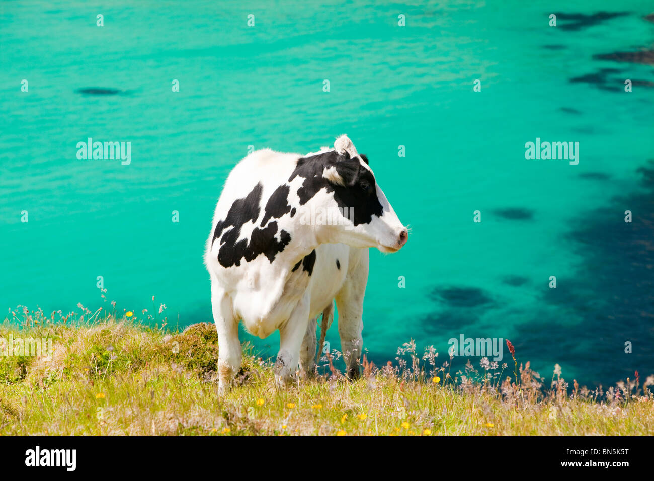 A cow on rough grazing near Gwennap Head, Cornwall, UK. Stock Photo