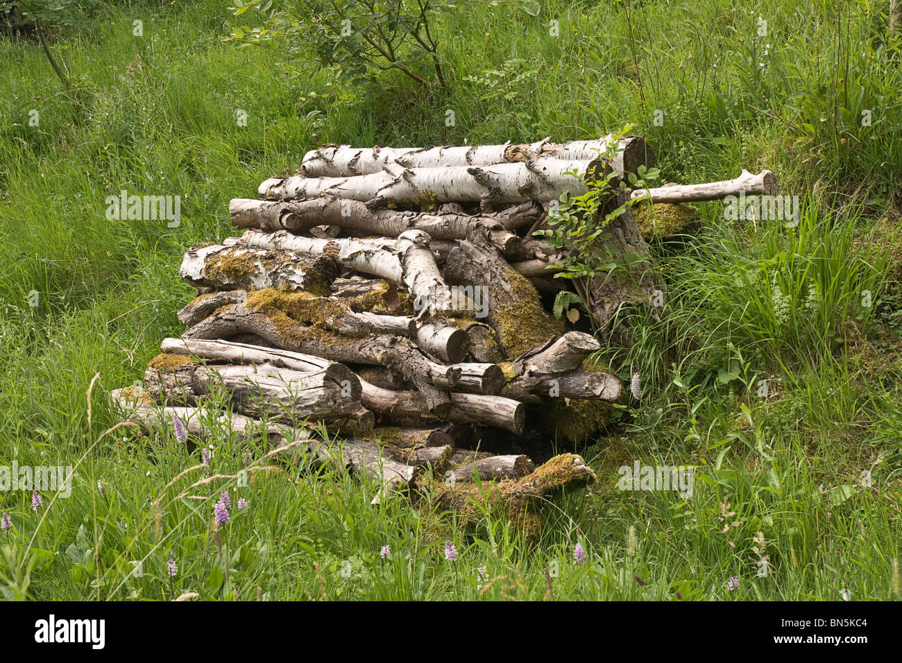 Wood pile (silver birch logs) left to rot and thereby encourage wildlife. - Stock Image