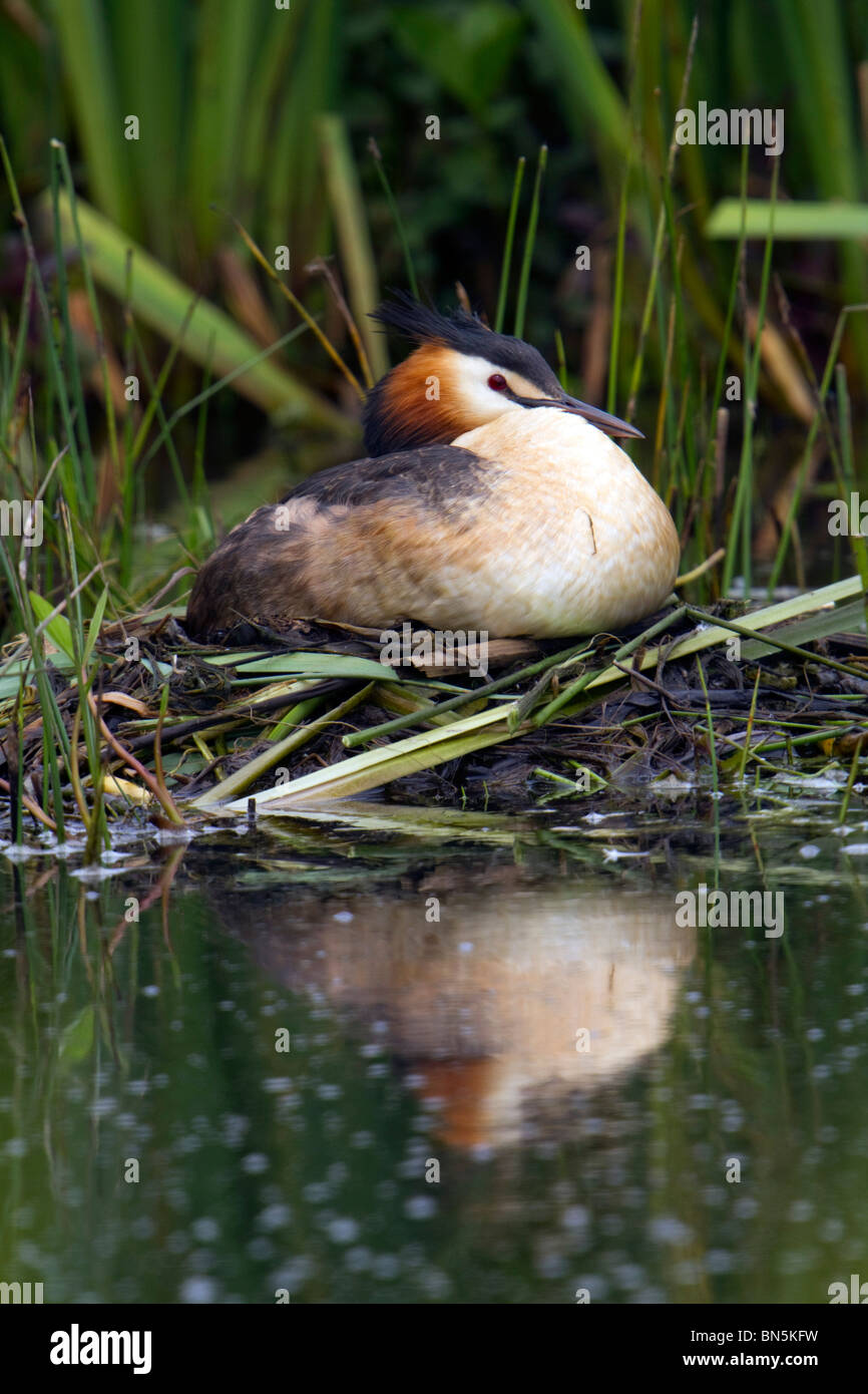 Great Crested Grebe; Podiceps cristatus; on nest - Stock Image