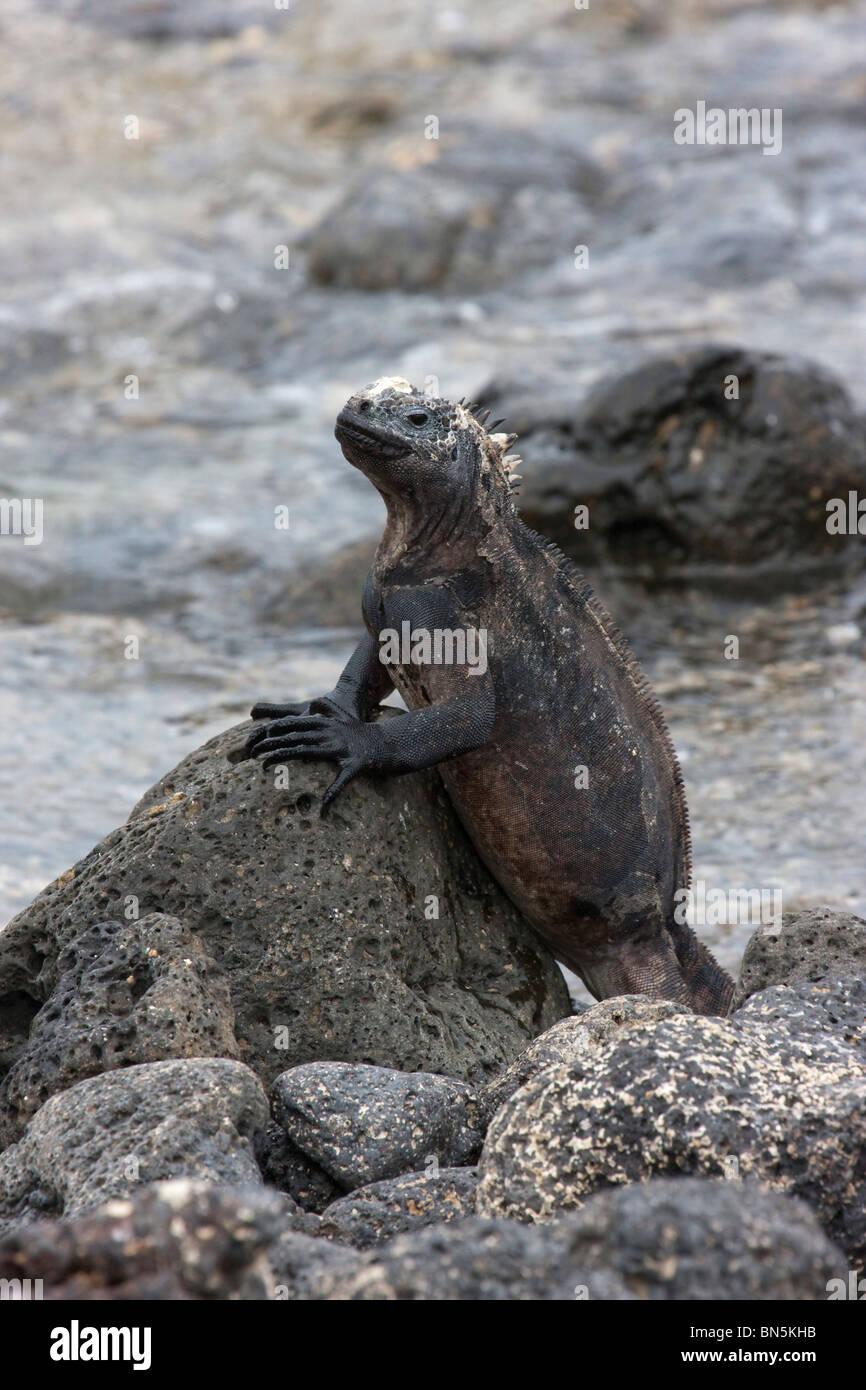 Marine Iguana on rock in Galapagos Islands Stock Photo