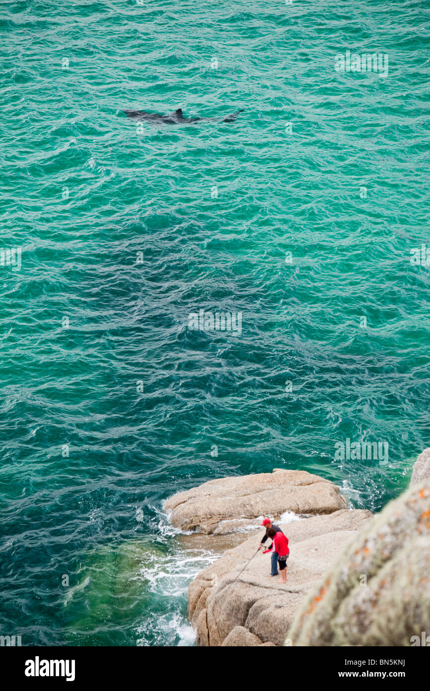 A small young Basking Shark (Cetorhinus maximus) cruising along near a couple fishing off the rocks at Porthcurno, - Stock Image