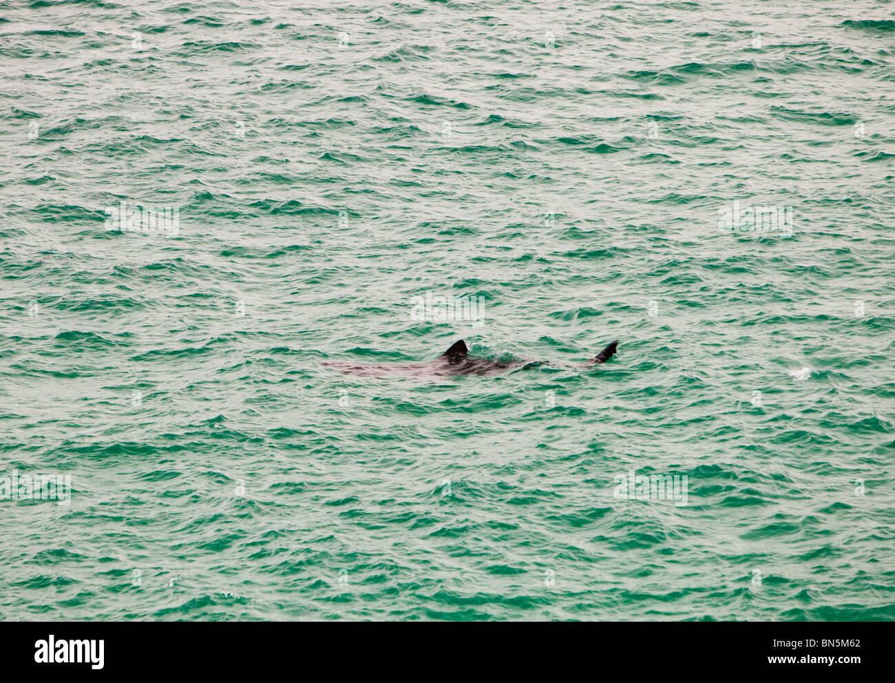 A Basking shark (Cetorhinus maximus) off Porthcurno, Cornwall, UK. - Stock Image