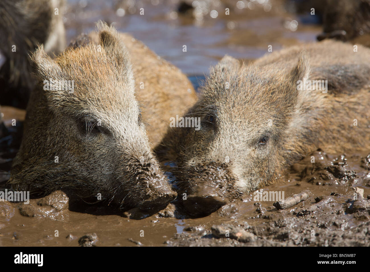two young Wild Boar taking a mud bath togehter - Sus scrofa - Stock Image
