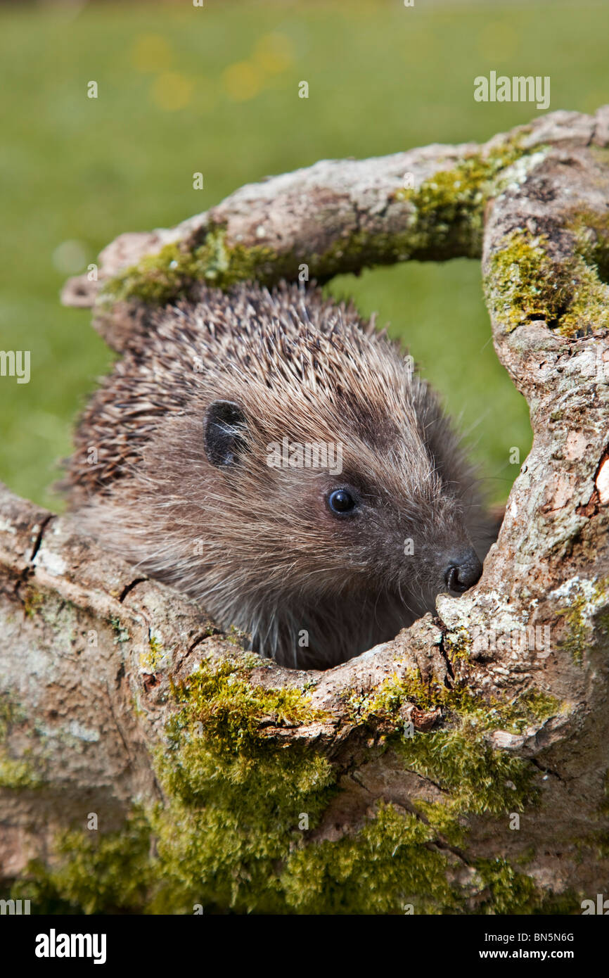 Hedgehog; Erinaceus europaeus; on a log in a garden - Stock Image