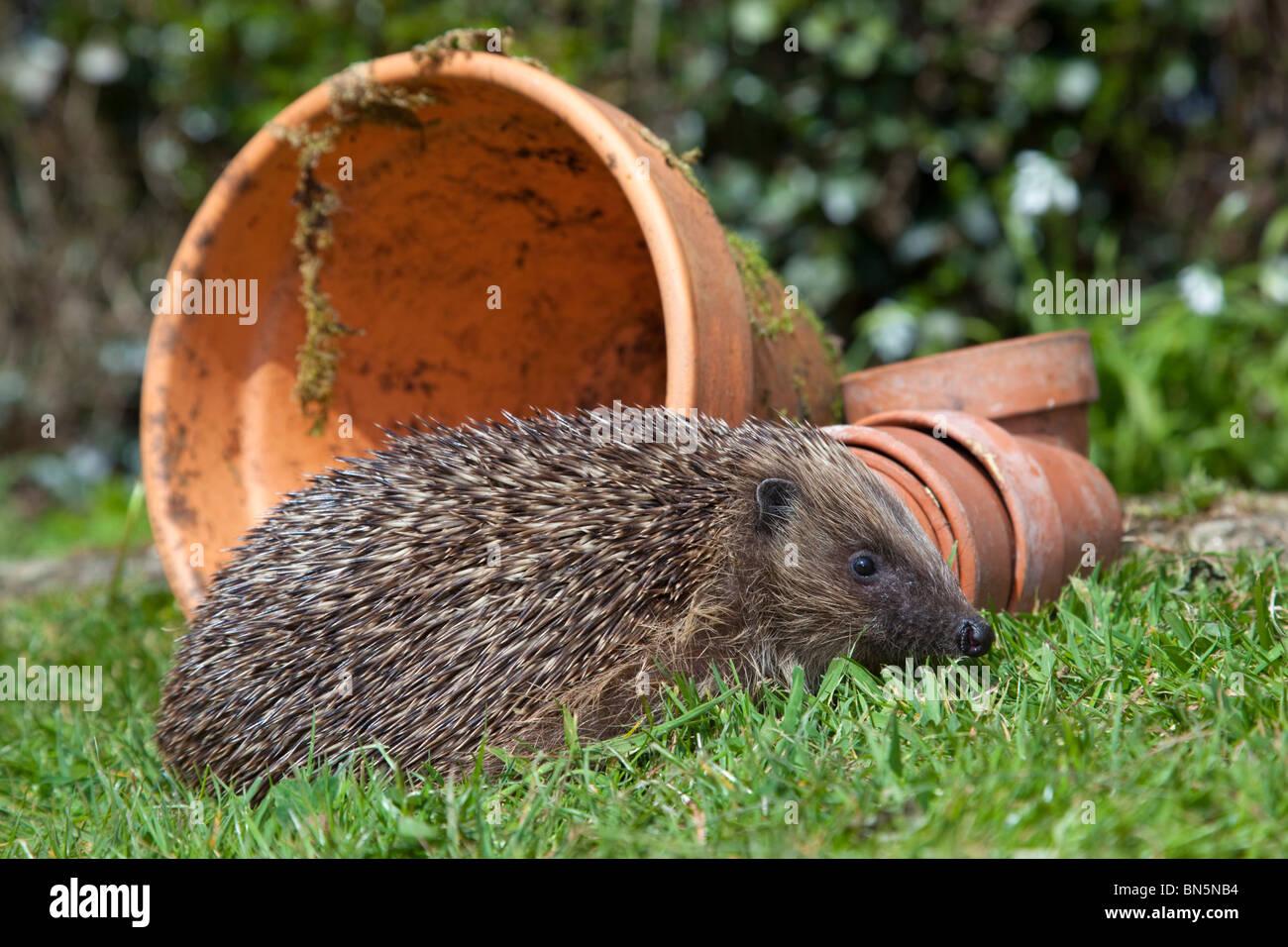 Hedgehog; Erinaceus europaeus; with a plant pot; garden - Stock Image