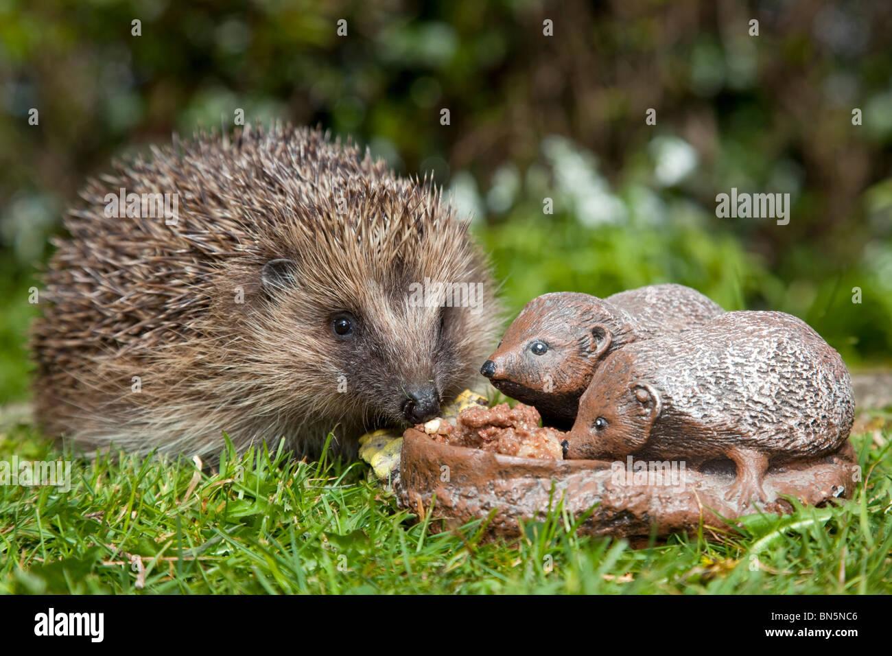 Hedgehog; Erinaceus europaeus; with garden ornament of a hedgehog - Stock Image