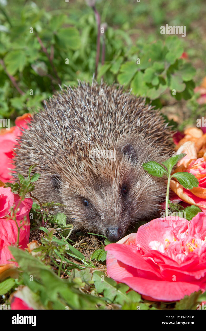 Hedgehog; Erinaceus europaeus; with fallen flowers - Stock Image