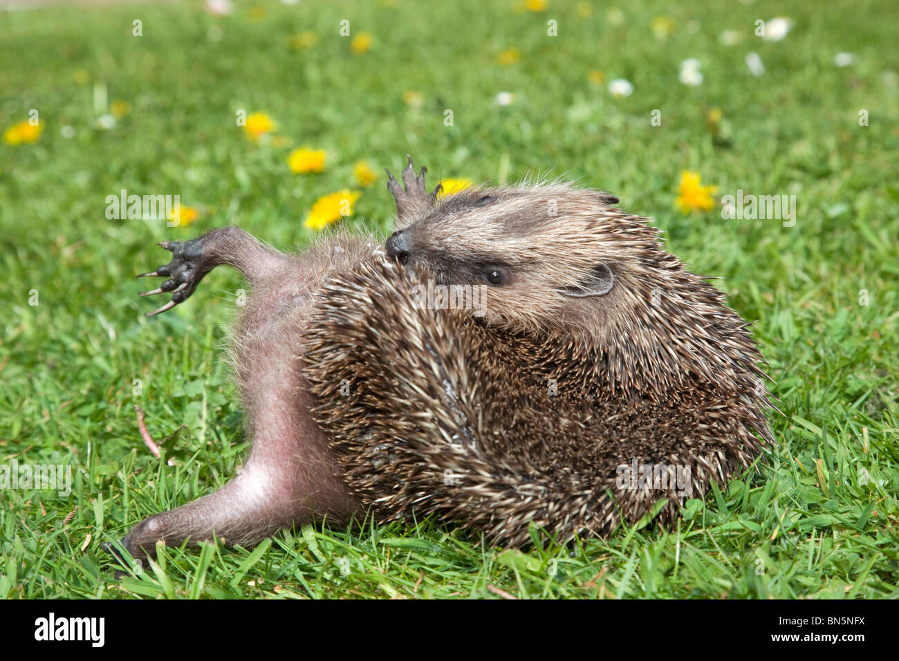Hedgehog; Erinaceus europaeus; anointing itself - Stock Image