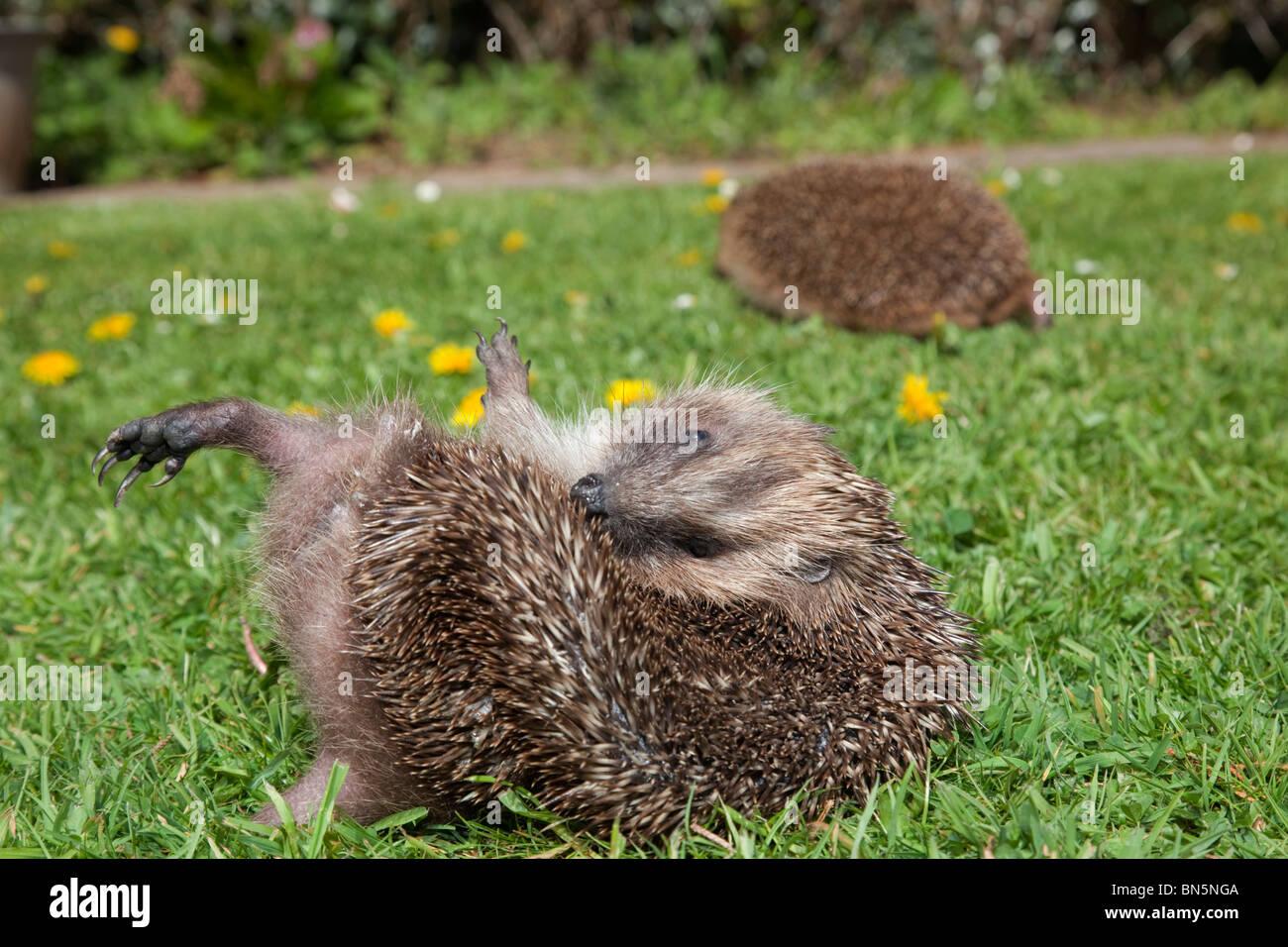 Hedgehog; Erinaceus europaeus; anointing itself - Stock Image