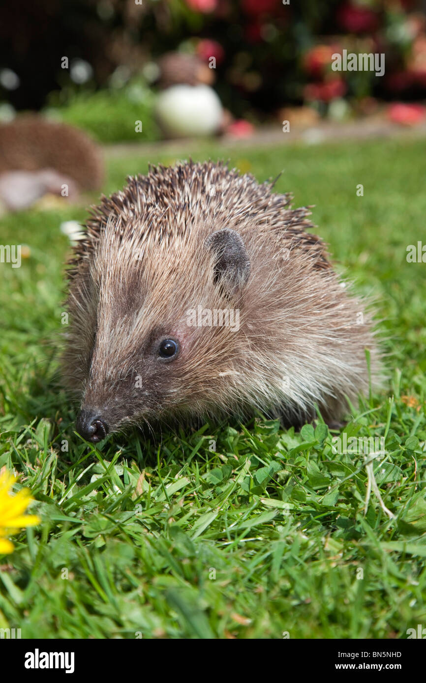 Hedgehog; Erinaceus europaeus; on a garden lawn - Stock Image