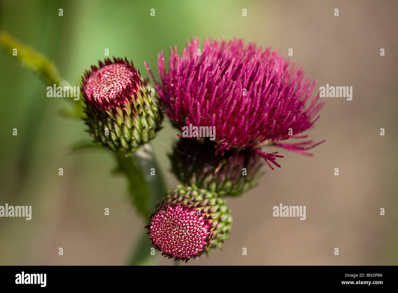 Cirsium Rivulare or Brook Thistle, Summer 2008 - Stock Image