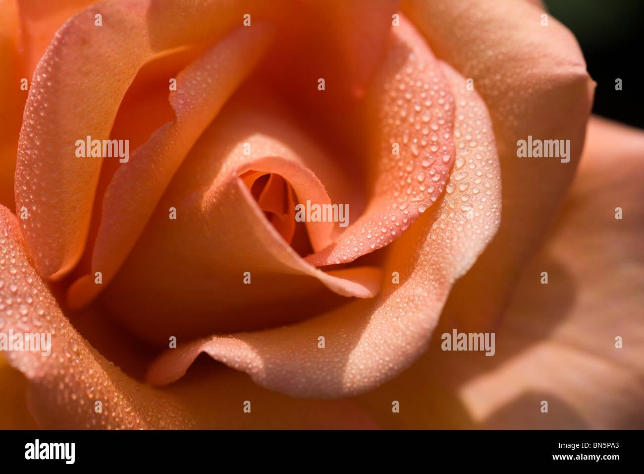 Rosa Warm Wishes - Stock Image