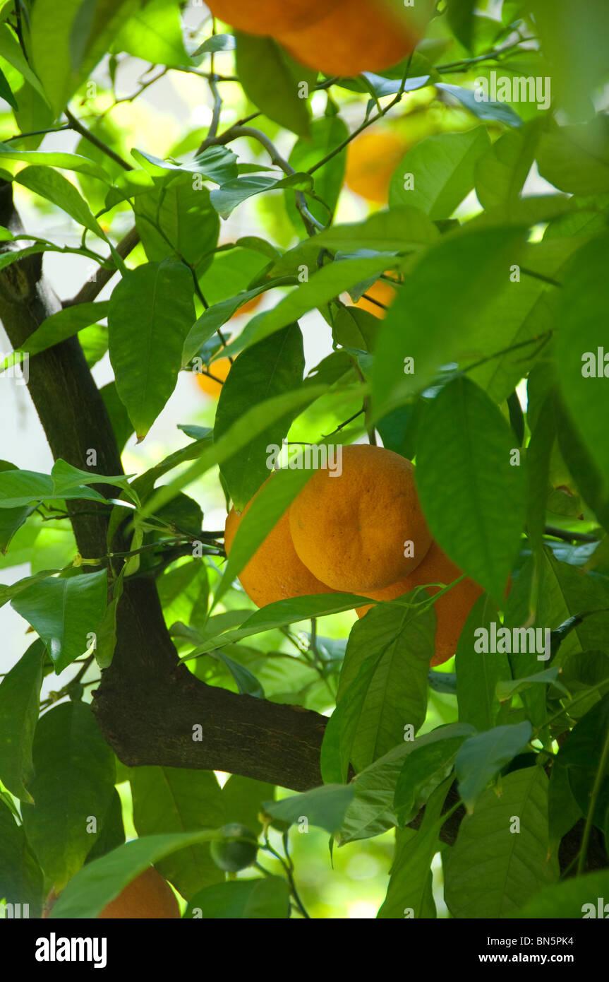 Spain, Seville. Alcazar (aka Reales Alcazares), Orange trees in palace garden. - Stock Image