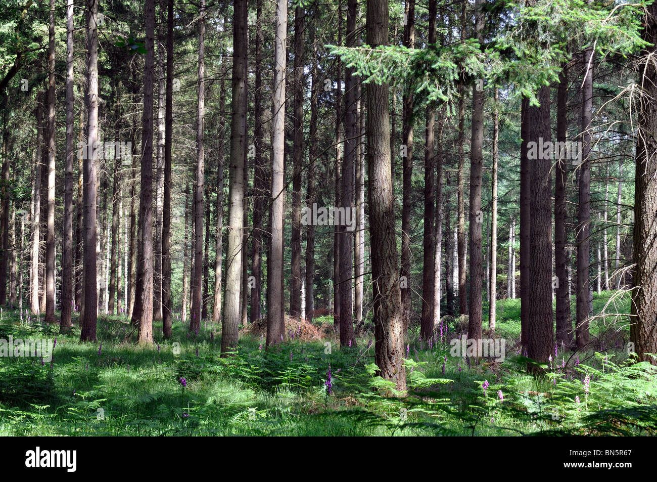 Nagshead Nature Reserve, Forest of Dean, Gloucestershire, England, UK - Stock Image