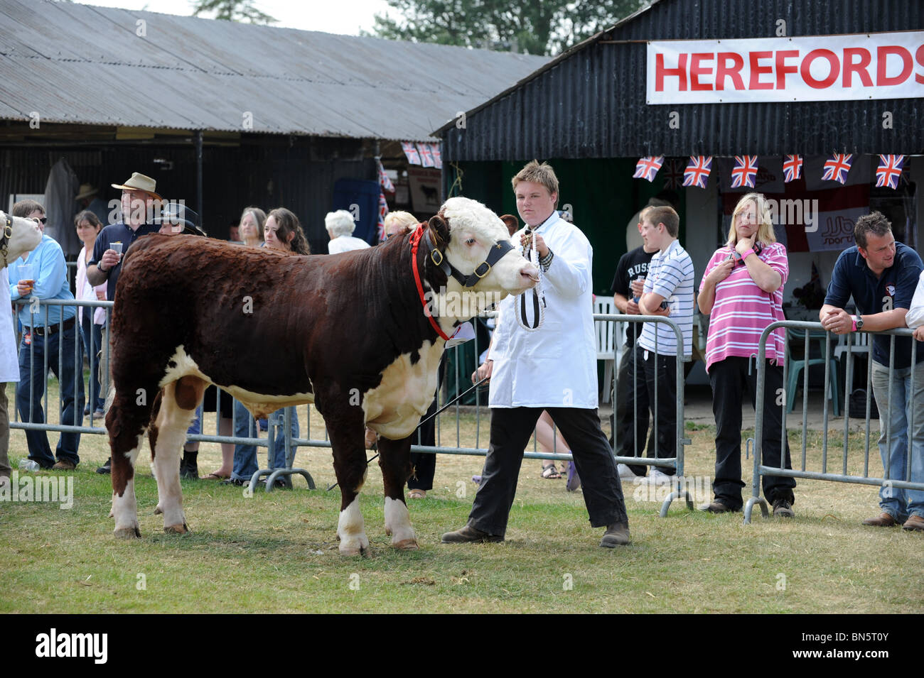 Young stockman leading a Hereford Bull into judging ring Shropshire County Show - Stock Image