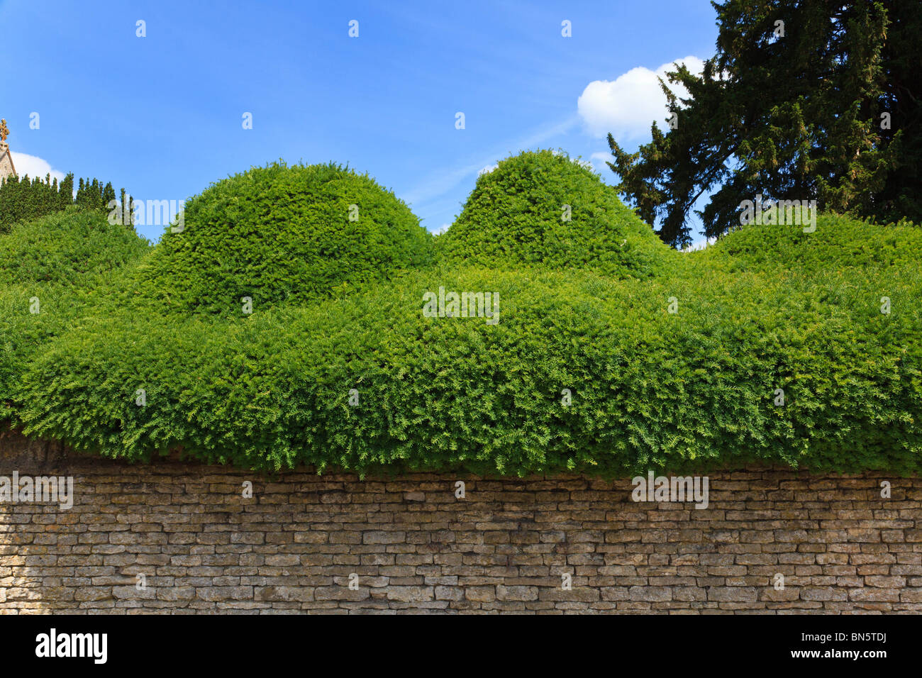 Cloud shaped yew hedge in the desirable village of Turvey, Bedfordshire, UK - Stock Image